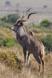 Kudu bull. An adult kudu bull with massive horns Royalty Free Stock Photo