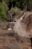 Kudu bull. In Addo National Park, South Africa Royalty Free Stock Photo