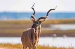 Kudu bull. Kudu (Tragelaphus strepsiceros) in Chobe National Park Royalty Free Stock Photography