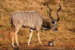 Free Kudu Bull Royalty Free Stock Photography - 54855137