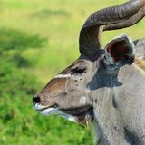 Kudu bull in the african bush. Kudu bull large in the bush in the african reserve Stock Photo