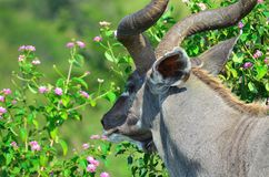 Kudu bull in the african bush. Kudu bull large in the bush in the african reserve Stock Photography