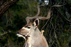 Kudu bull. This beautiful bull was in the Kruger Park. What a stunning animal with his long horns Royalty Free Stock Image