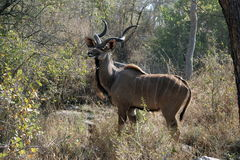 Kudu bull in the bush Stock Image
