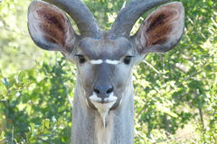 Kudu  bull   close up. This kudu bull  antelope was  photographed  in the Kruger  National  Park .  Note  the  big  ears Royalty Free Stock Image
