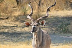 Kudu bull - Close-up of Perfection 2 Royalty Free Stock Images