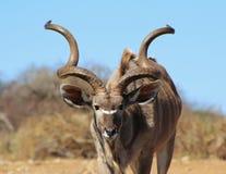 Kudu Bull - corni sviluppati a spiraleare Fotografia Stock Libera da Diritti