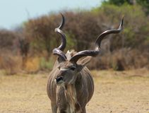Kudu bull - Curls and Twists 2 Stock Photos