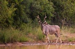 Kudu bull at the dam stock photo
