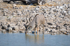 Kudu bull drinking water Royalty Free Stock Photos