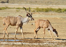 Kudu Bull and Ewe Stock Photos