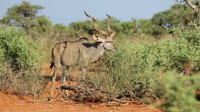 Kudu bull feeding Stock Photography