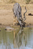 Kudu bull with huge horns drink water at pool Royalty Free Stock Photography