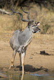 Kudu bull with huge horns drink water at pool stock photo