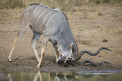 Kudu bull with huge horns drink water at pool Royalty Free Stock Images