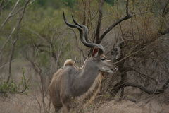 A kudu bull with ivory tips Stock Photography