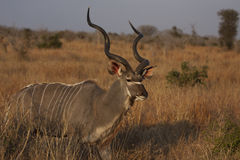 Kudu bull Royalty Free Stock Images
