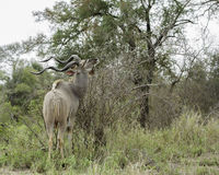 Kudu Bull. Male Kudu Bull feeding in the African savannah Royalty Free Stock Image