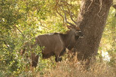 Kudu bull next to a tree. The kudu was in the Kruger Nat Park. He was standing in the shade of a tree Stock Images