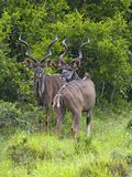 Kudu Bull Pair Stock Images