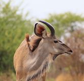 Kudu bull - Portrait of the Young Stock Photography