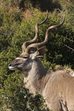 Kudu bull profile Royalty Free Stock Photos