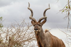 Kudu Bull with spiral shaped horns in Kruger Park Stock Image