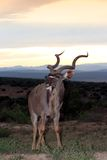 Kudu Bull and Sunset. Kudu antelope with large spiralled horns at sunset Stock Photo
