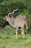 Kudu bull with trophy horns Royalty Free Stock Image