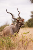 Kudu bull walking alone in the wild Stock Photo
