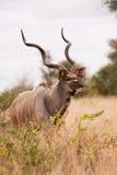 Kudu bull walking alone in the wild. Single Kudu bull walking alone in the wild Stock Photo