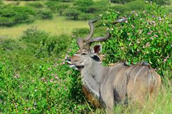 Kudu bull walking in the african bush. Kudu bull walking in the long grass in the african bush Stock Photo