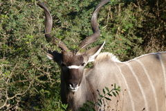 Kudu Bull. This  Kudu bull  was   photographed in  the  Kruger National  Park in  South Africa Stock Photo