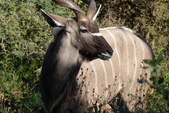 Kudu Bull. This  Kudu bull  was   photographed in  the  Kruger National  Park in  South Africa Stock Images