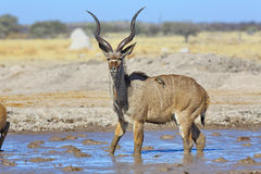 Kudu bull in waterhole Stock Image