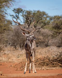 Kudu Bull Stock Photos