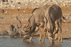Kudu bulls drinking Royalty Free Stock Photo