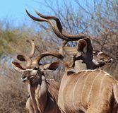 Kudu bulls - Kings of deception Stock Photo