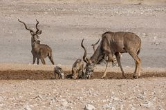 Kudu Bulls. And Warthogs at a watering hole in Namibian savanna Stock Photo