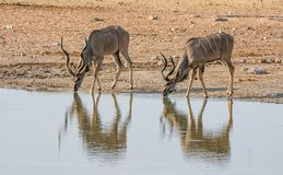 Kudu Bulls. At a watering hole in Namibian savanna Royalty Free Stock Images