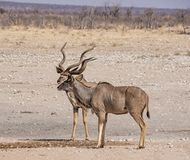 Kudu Bulls. At a watering hole in Namibian savanna Royalty Free Stock Image