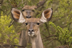 Kudu in the bush Royalty Free Stock Image