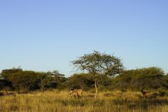 Kudu in bush under blue sky at Okonjima Nature Reserve, Namibia. Camouflaged kudu brown against brown bush and dry grass in early morning sunlight under big blue royalty free stock image