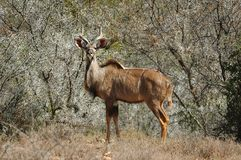 Kudu in bush-veld Stock Photo