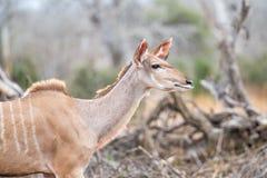 Kudu in bushveldt setting Royalty Free Stock Image