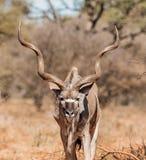 Kudu byk Fotografia Stock