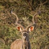 Kudu byk Zdjęcie Stock