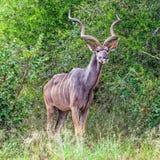 Kudu byk w krzaku Zdjęcia Royalty Free