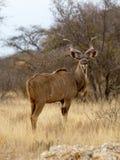 Kudu byka stojaki w suchej, trawiastej polanie w Mokala parku narodowym w Południowa Afryka, Fotografia Stock
