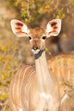 Kudu Calf. A young Kudu looks inquisitively Royalty Free Stock Photography